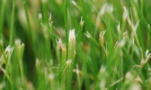 gerafeld en beschadigd gras